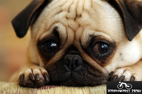 sad-like dog in office