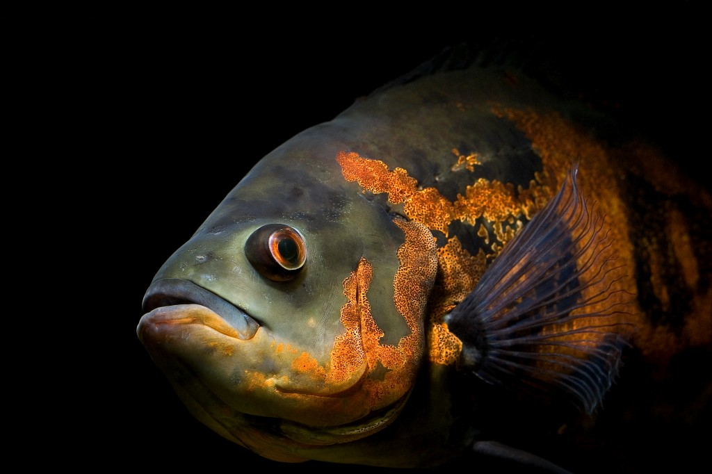 Oscar Fish Care And Tips Making Oscar Aquarium