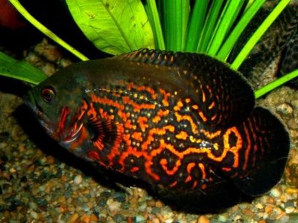 although Oscar Fish is not Giant Oscar Fish