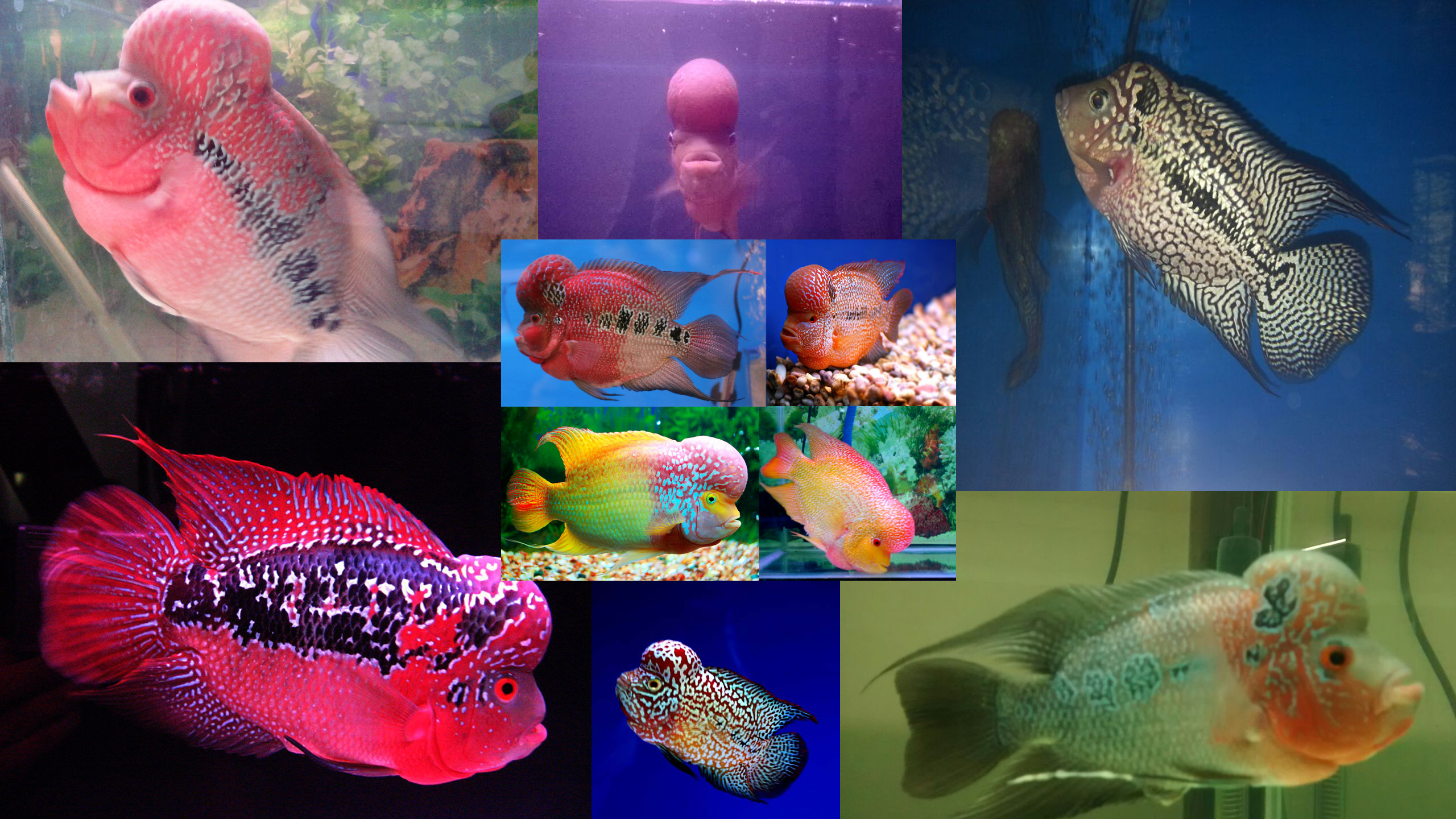 My Treated Flowerhorn from all Diseases